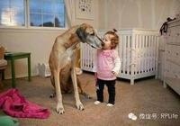 世界名犬——大丹犬
