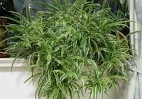 """綠蘿扔了吧!客廳養這3種""""花"""",吸甲醛、防輻射,四季綠油油"""
