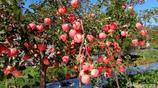 這個地方的蘋果據說能吃出糖心來,中秋節滿街都是,價格跌破天