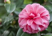 山茶花怎麼種長得好?