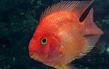 血鸚鵡飼養 血鸚鵡魚飼養起來不是很難