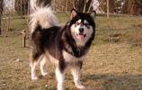 阿拉斯加雪橇犬,萌翻了
