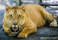 獅虎獸和虎獅獸數量比老虎還少,為何不屬於國家一級保護動物?