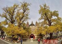北京三環內最老的古銀杏進入最佳觀賞期