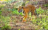 已經滅絕了的爪哇虎欣賞