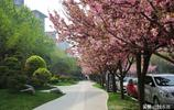 西安曲江有條1.8公里長的櫻花大道 名氣不大但確實美