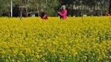 瀋陽油菜花盛開,觀者如在畫中游