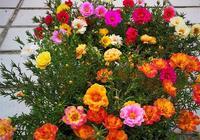 丟土裡就能成活,花色絢麗,全年開花,超級好養,盆栽養花選這種