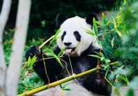 大熊貓曾是熱帶獸?解密你不瞭解的大熊貓與氣候