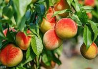 據說在院子裡種植這三種樹,可以招福