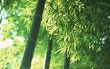 植物圖集:翠綠的竹子