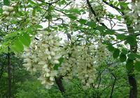 刺槐樹有什麼作用?