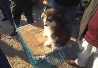 狗市:商販出售阿拉斯加犬,真的很是討喜!