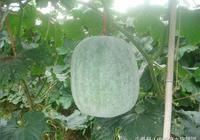 七絕:詠冬瓜