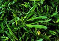 城裡人吃不夠的野草!用來做蒸菜是一絕!食用價值高味道很鮮美!