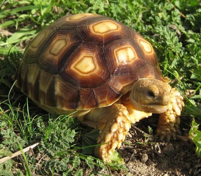 動物圖集:中華草龜