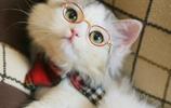 動物圖集:郭斯特家的小狐狸布偶貓