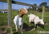 有哪些養羊經驗?圈養羊怎樣餵養更好?