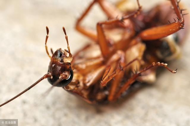 只要一粒大蒜,就把廚房蟑螂滅的乾乾淨淨,用過的家裡徹底沒蟑螂