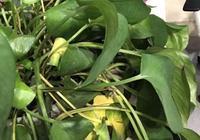 綠蘿的葉子枯萎了一半,春天插纖還能活嗎?