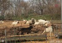 秋季養羊誤區多如何秋季養羊?