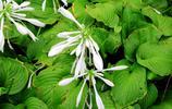 白玉玉簪花