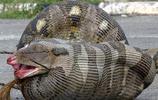 動物圖集:蟒蛇