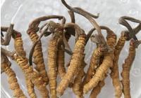 有一種藥草,價格比冬蟲夏草低,效果居然還比冬蟲夏草好