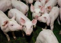 「大蒜」原來可以用於治豬病!