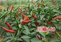 辣椒種子-川椒168(朝天椒)