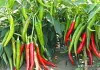 栽種辣椒講究技術,掌握這些內容,才可種植成功