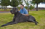 動物圖集:大丹犬