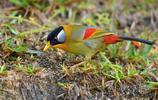 動物圖集:形影不離的相思鳥
