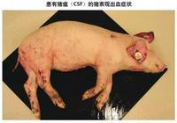非洲豬瘟、豬瘟、豬藍耳病、豬丹毒…都有什麼區別?