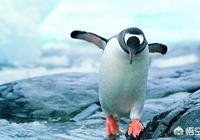 為什麼北極沒有企鵝?把企鵝運到北極,企鵝能生存嗎?