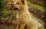 中華田園犬:我們兒時的記憶