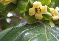長在農村金黃色的果果,有抗癌防癌的作用,想知道是什麼果果嗎?