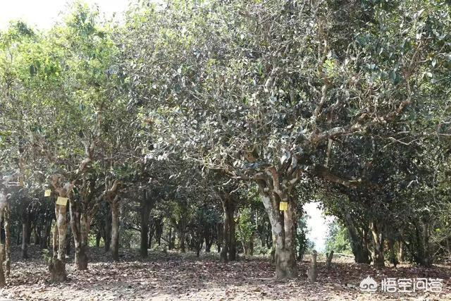 古茶樹大約幾年算古茶樹?