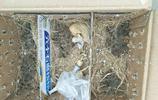 阜南這男子逮40多隻野生雲雀不 料卻住了院