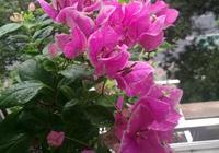 養三角梅,別忘修剪,一年剪3回,枝葉瘋長,花開不斷,開成花海