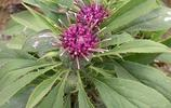 菊科植物白朮