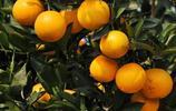 原來湖南橙子、四川橙子、贛南臍橙可以這樣辨別!