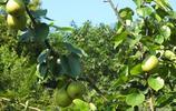 樹上的梨子、柿子,你認識嗎?柿子象徵什麼?吃梨子有什麼禁忌?
