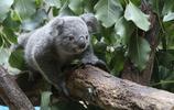 動物圖集:樹袋熊