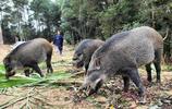 大哥下崗後山中養野豬,兩年意外收穫200萬!