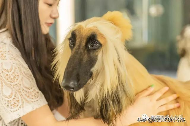 魔都首家阿富汗犬咖,19只大型犬坐鎮