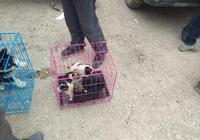 狗市:狗主人帶來一窩土狗幼犬,為何一個早上沒賣出去一隻?