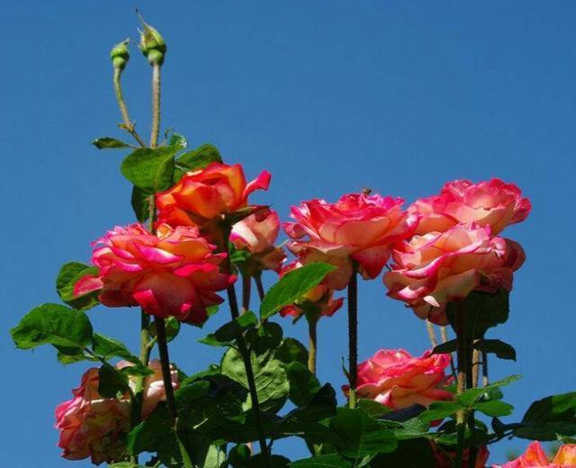 月季樹:高貴典雅、花色花型多樣的月季樹美麗極了,快來看看吧
