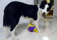 這狗狗可聰明瞭!有了它,我還要自己動手嗎?