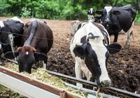 農村養牛牛糞難處理,其實還有更好的選擇,輕鬆變廢為寶